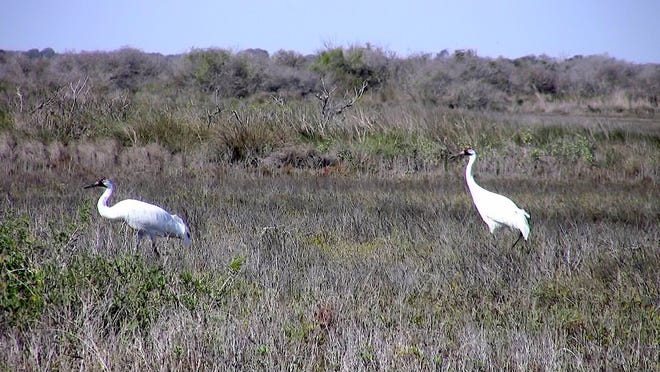 Whooping crane numbers have increased steadily in the past 30 years and now there are 192 breeding pairs that winter each year in Texas. In 1941, just 15 birds remained of the migrating flock in Texas.