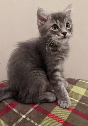 Fluff, a sweet fluffy soft male domestic long-haired kitten, is available for adoption from Wags & Whiskers Pet Rescue. For information, call 904-797-6039 or go to wwpetrescue.org to fill out an application.