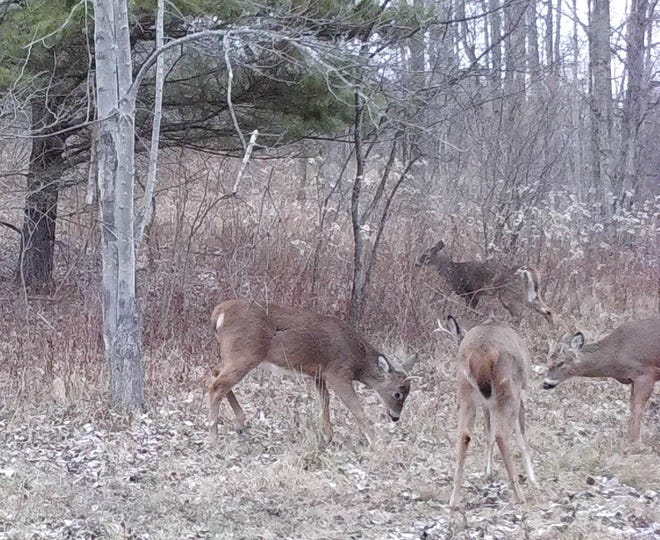 Four yearling bucks are sorting out their pecking order by sparring  with each other after the deer season.