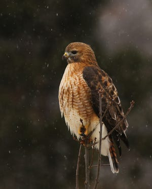 A rare hybrid of a red-shouldered and red-tailed hawk, two species who prefer to stay local during the winter. This bird was photographed by Worcester county resident Cynthia Rand in West Boylston.