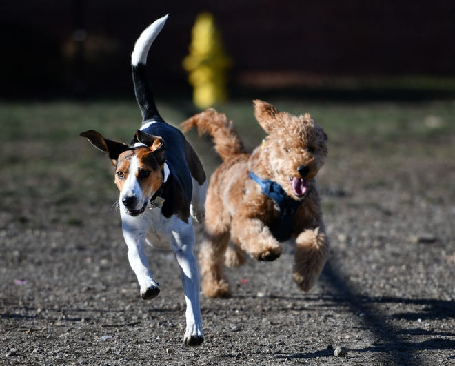 WORCESTER - Roscoe, left, and Milo run toward a group of dogs at the other end of the dog park.