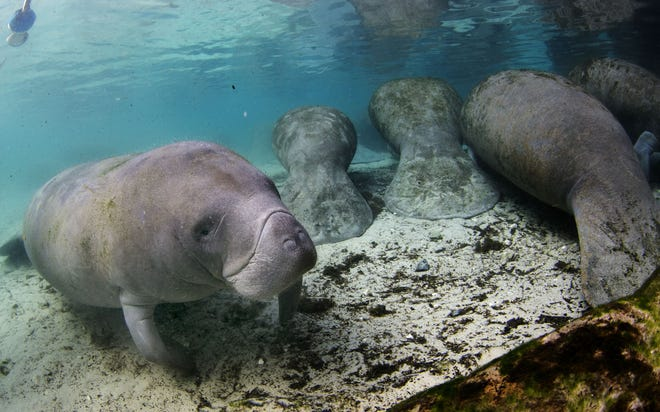 As of Dec. 11, at least 562 manatees had died in Florida, according to the Fish and Wildlife Conservation Commission. [FILE]