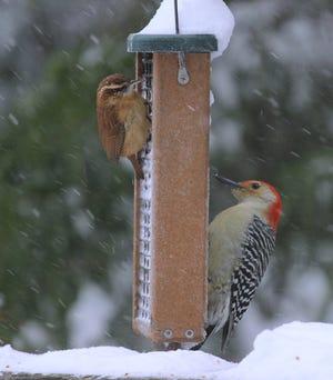 A Carolina wren (left) and a woodpecker share a bird feeder as it snows.