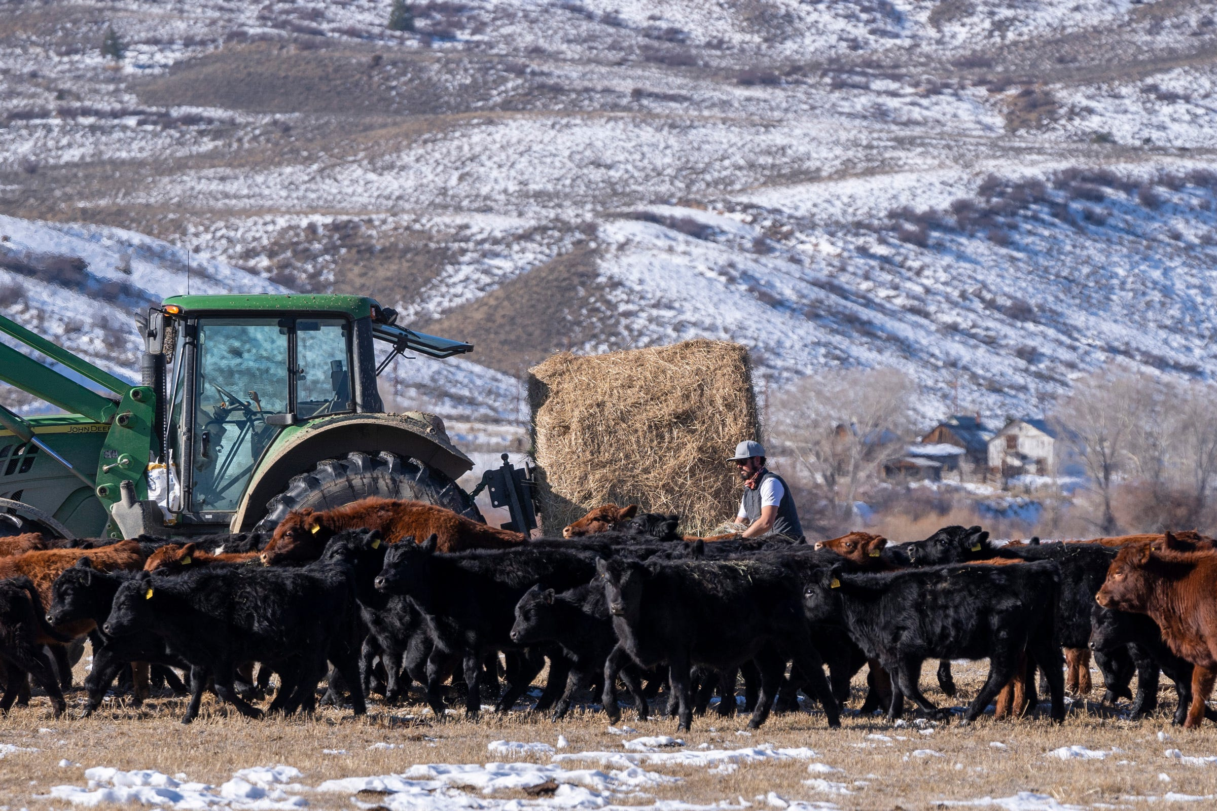 Paul Bruchez uses a tractor to feed hay to cattle on his family's ranch beside the Colorado River near Kremmling, Colorado.
