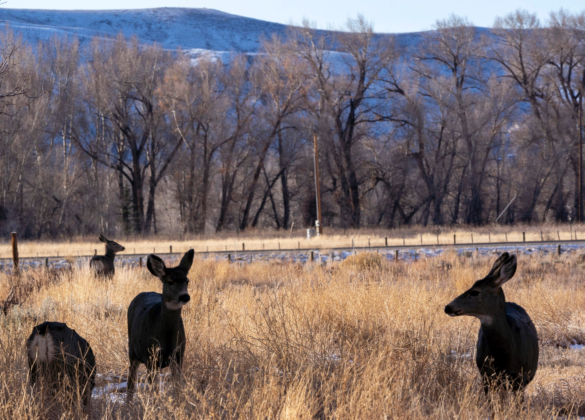 Deer forage near the Gunnison River in Colorado.