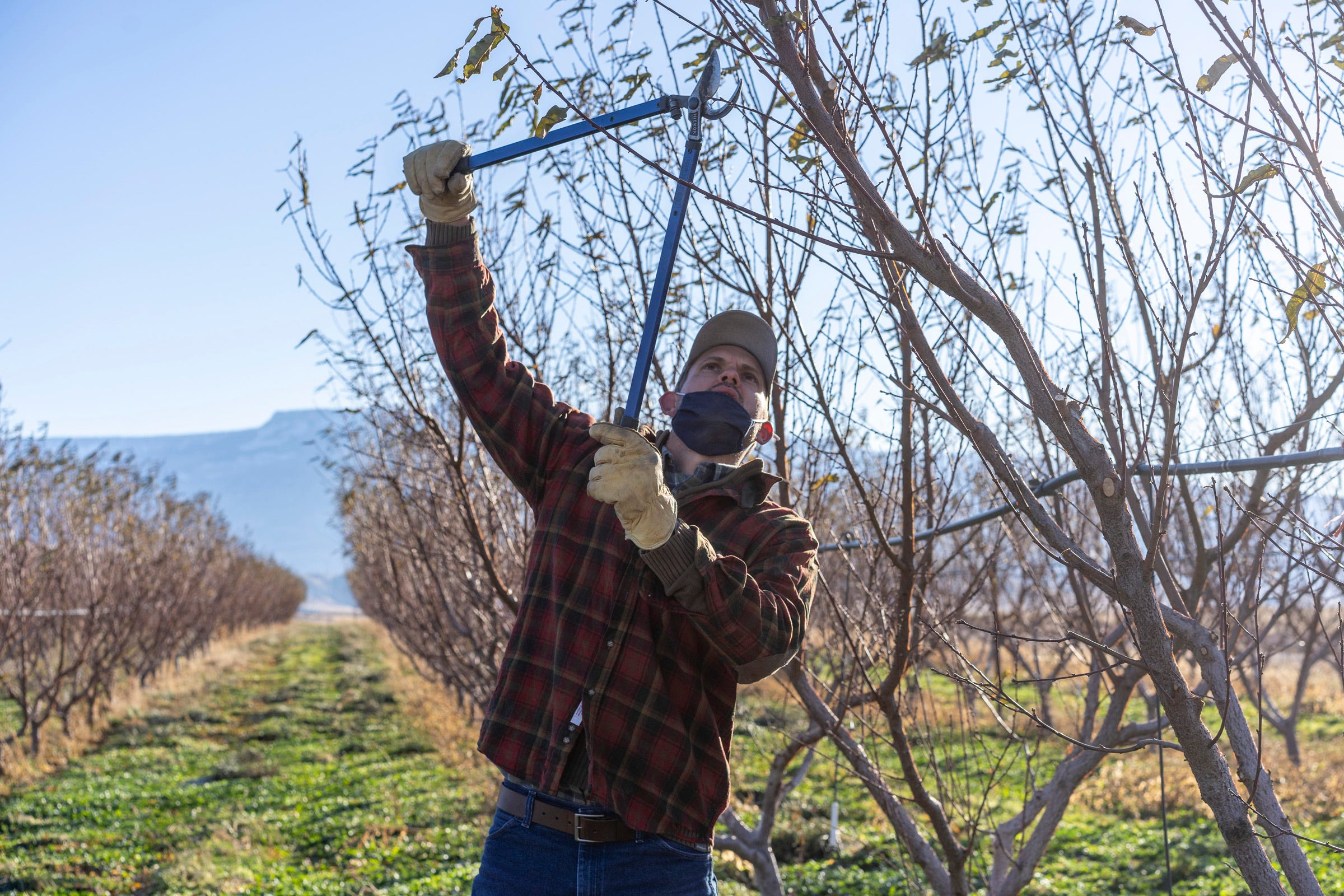 Luke Gingerich snips at a peach tree with pruning shears at his organic orchard on East Orchard Mesa in Palisade, Colorado. Gingerich has a high-efficiency sprinkler system on his farm. During the extreme heat over the past year, he said he needed to irrigate more to keep the trees healthy.