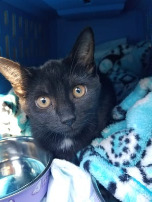 Volusia County Animal Services officers rescued this kitten from a car that fled from deputies on Saturday. The driver of the car, Melissa Crooker, of DeLeon Springs, who drove recklessly in opposing traffic lanes was charged with animal cruelty.