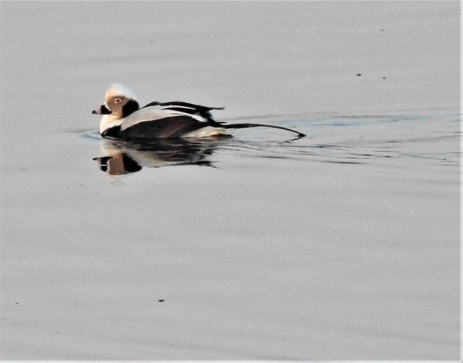 A long-tailed duck seen recently at Parson Beach in Kennebunk.