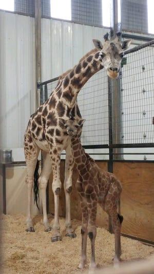 A new male giraffe calf was born Dec. 17 at Rolling Hills Zoo to Billie, the zoo's female giraffe.