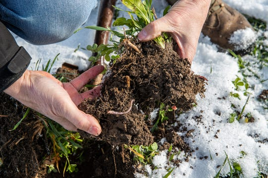 Farmer Rick Clark digs up a small batch of dirt from his field to see if he can find any earthworms at his farm in Williamsport, Ind., on Friday, Dec. 18, 2020. Clark is a regenerative agriculture farmer, focusing on soil health and removes chemicals and fertilizer from his fields.