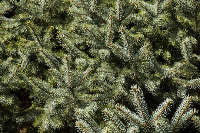 Curbside Christmas tree pick-ups have started in some High Desert locales.