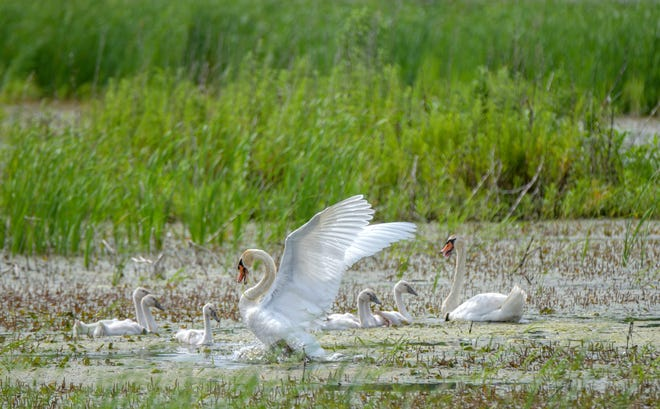 A family of swans feeds and frolics on July 5, 2019, at Emiquon Preserve near Havana.