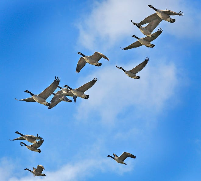 Canada geese fly over Braintree Tuesday, Dec. 29, 2020.