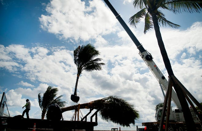 Wickma Noel of Botanica attaches coconut palm trees, one by one, to a crane on South Ocean Boulevard in October as the landscape company transplanted the trees along the boulevard seawall.