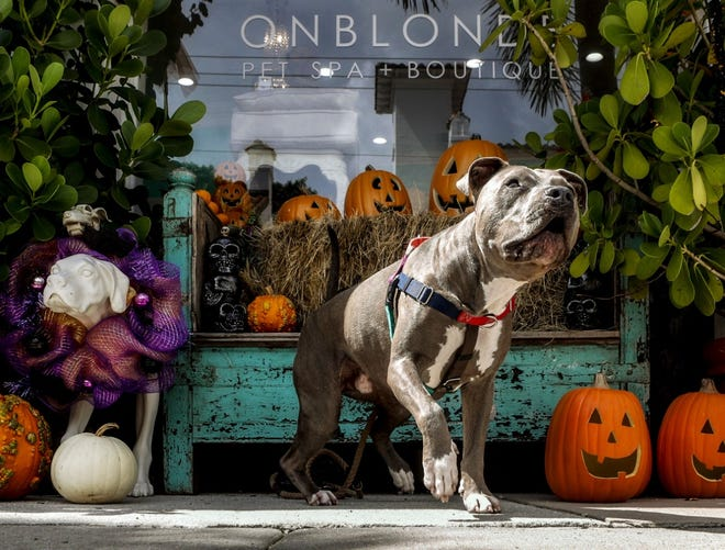 "Dante, 4, an American pit bull terrier, hangs out in October near the fall display in front of Onblonde Pet Spa & Boutique where her owner Tatiana Alvarez works as a bather. ""She comes here with me to work everyday,"" Alvarez said. DAMON HIGGINS / PALM BEACH DAILY NEWS"