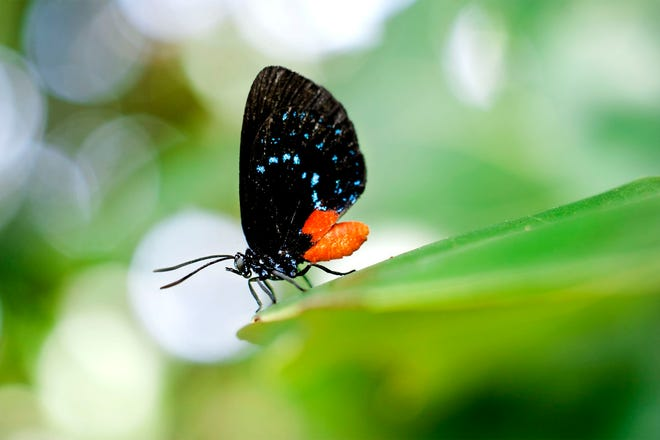 An atala butterfly perches on a seagrape leaf at Phipps Ocean Park in Palm Beach in August. The caterpillar of the species, once thought to be extinct, feeds on the toxic Florida native shrub coontie. MEGHAN MCCARTHY / PALM BEACH DAILY NEWS