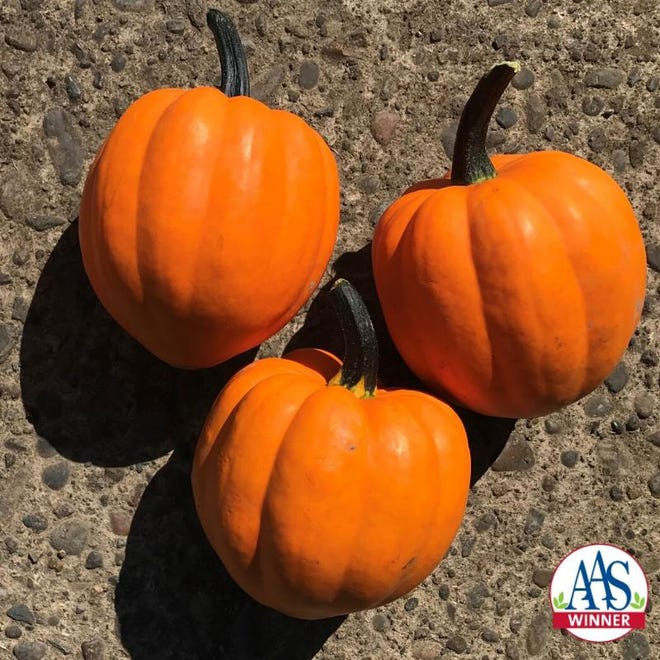 Squash Goldilocks has a rich nutty flavor, delicious and can double as an ornamental decoration.