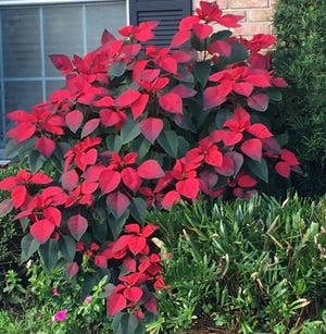 This poinsettia has been pruned repeatedly to produce a compact, branched shrub in Jacksonville, Fla.