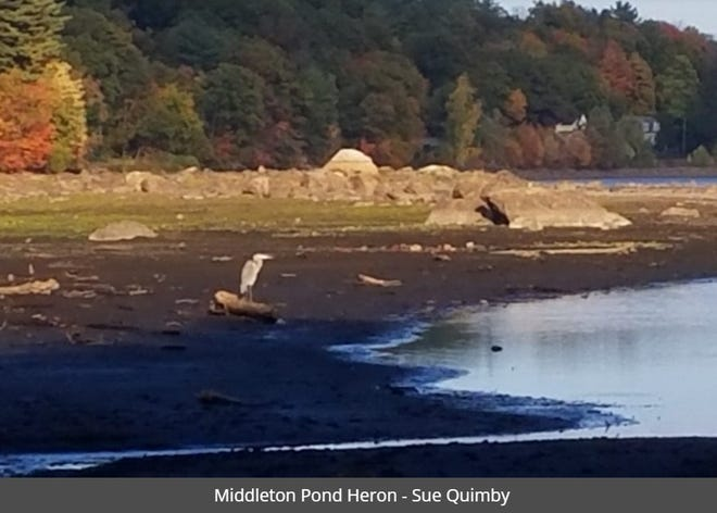 """""""Middleton Pond Heron,"""" Photo by Sue Quimby."""