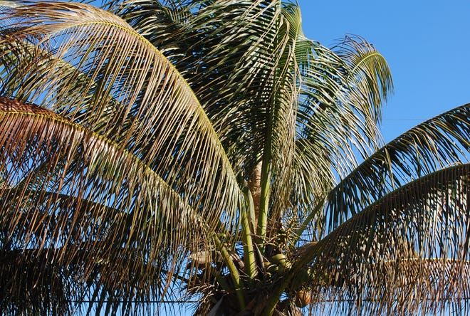 Coconut palms can be damaged by freezing temperatures. The best cold protection for landscape plants is to cover the plant without the cover touching the leaves. The air space between the cover and the leaves is the insulation that prevents damage from falling temperatures. Also, the cover itself physically prevents frost from forming on the plant. Build a frame around large plants or use buckets, basket, or even trash cans to cover smaller plants.