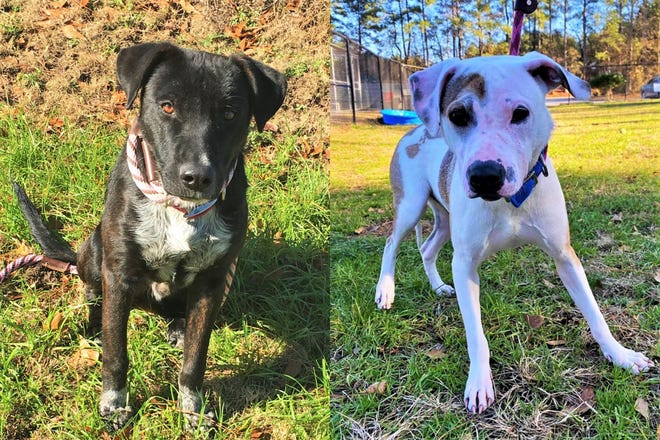 Kole (left) and Spice have become good buddies at the Aiken County Animal Shelter but the shelter staff is hoping to find separate homes for them with other dogs who can mentor them.