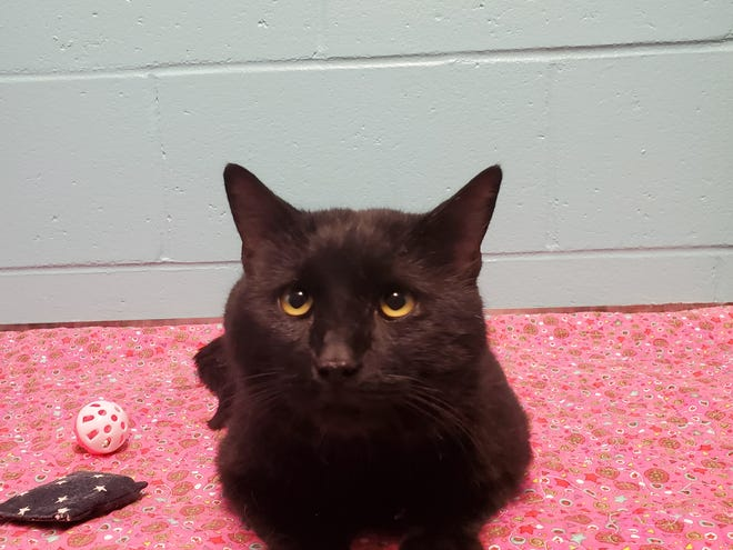Congo is a handsome 3-year-old male kitty. He is a little shy at first, but quickly warms up with head scratches and treats! He makes cute tiny high pitch meows. Congo does well with other cats and kids. Congo is ready to find his furever home and is available to adopt at our shelter.