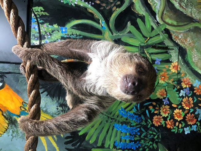 The Wright Park Zoo has welcomed a new two-toed sloth to its facilities.