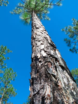 A fire-charred longleaf pine stands in the DeSoto National Forest in Miss. on Nov. 18. An intensive effort in nine coastal states from Virginia to Texas is  working to bring back the pines named for the long needles prized by Native Americans for weaving baskets.   (AP Photo/Janet McConnaughey)