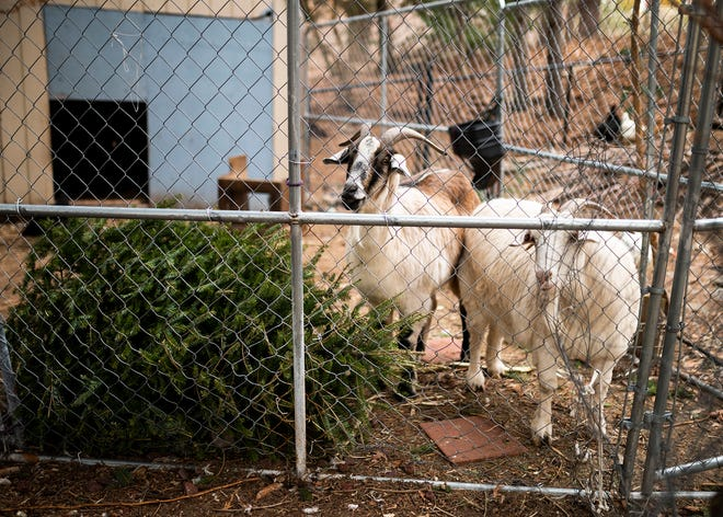 Daisy and Al, a pair of goats at Ortiz Family Farm in West Boylston, with a donated Christmas tree. The farm has been accepting Christmas trees for the goats to snack on.