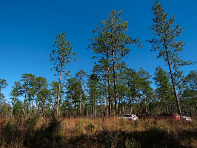 Longleaf pines, about 80 to 85 years old, stand tall in the DeSoto National Forest in Miss.