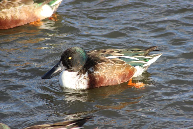 The Northern Shoveler's body size has been recorded to a length of slightly under 2 feet, while the wingspan can be just shy of three feet tip to tip.