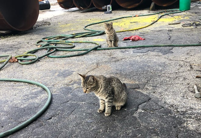 Two cats, known as the shop cats, hang out at Stoney Brook Structures in Tavares. The cats will be relocated to their new location in Leesburg.