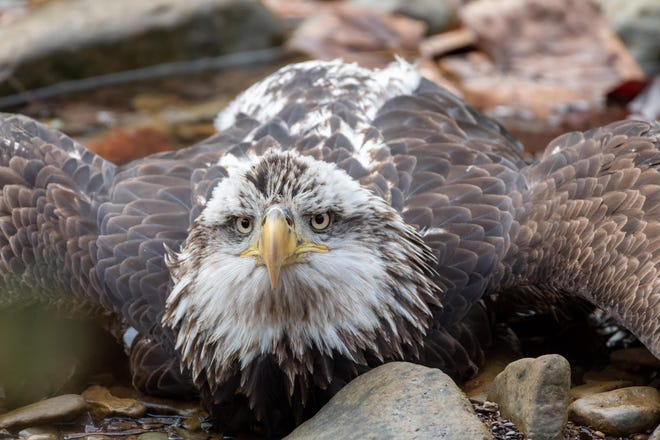 The eagle sustained abdominal injuries and lead poisoning.