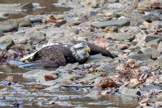 Louisville resident Eric Nalley found the eagle in a creek Wednesday. He called for help after realizing the bird was still alive.