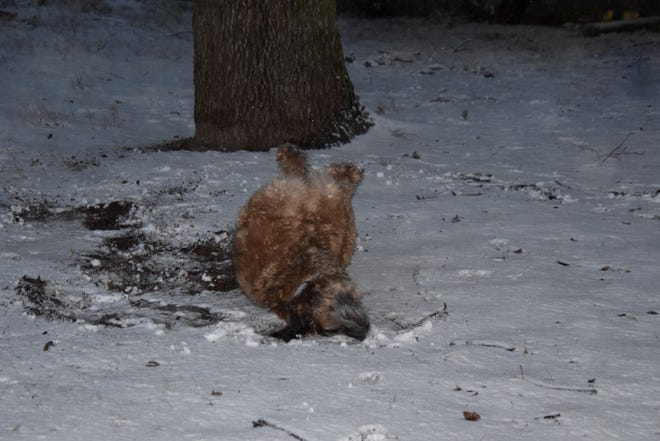 A furry Runnels County resident, Corpus, took advantage of the snow day to roll in the snow.