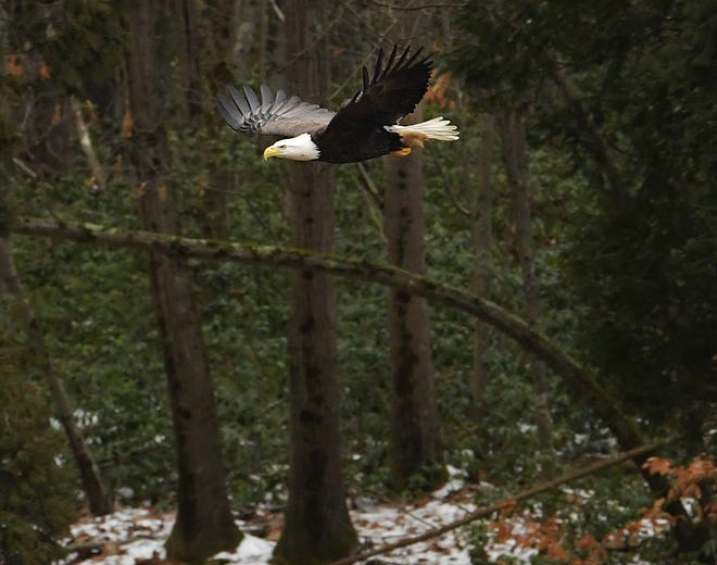 LEICESTER - A bald eagle takes flight from trees at Marshall Street and Route 56 near Kettle Brook Reservoir No. 2 on Sunday.