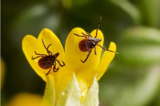 Protect yourself and your home from pesky ticks by learning their behaviors during a Penn State Extension live webinar at 9:15 a.m. Jan. 10 during the virtual State Farm Show.