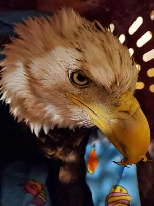 Joe the Bald Eagle was found off the highway, in a ditch, not moving as cars passed  by Nov. 24. He has since recovered.