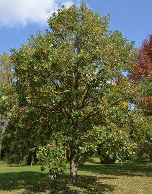 Bur oak trees, a long-lived member of the white oak group, bears a dense canopy that provides ample shade.