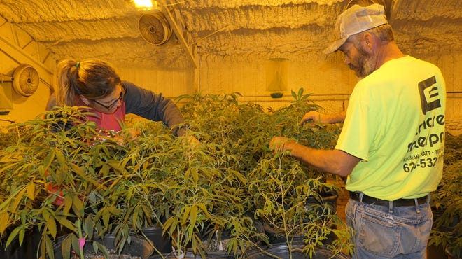 Terrie Rogers and Tim Beauchamp examine their industrial hemp plants for insects at TNT Pharms in Reno County.