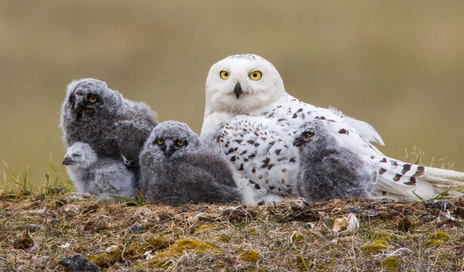 On Tuesday, Jan. 19, York County Audubon will host award-winning author and photographer Paul Bannick in an online free Zoom program about the owls of North America.