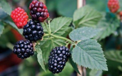 Natchez Blackberry