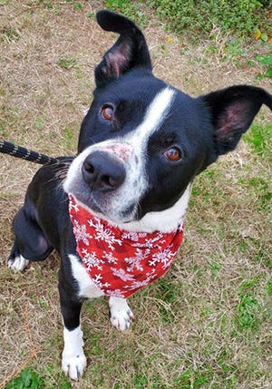 Wallly, an adult border collie, is available for adoption from SAFE Pet Rescue of Northeast Florida. Call 904-325-0196. Vaccinations are up to date.