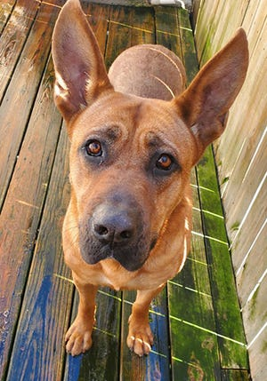 Patriot, an adult male Rhodesian Ridgeback and mastiff mix, is available for adoption from SAFE Pet Rescue of Northeast Florida. Call 904-325-0196. Vaccinations are up to date.