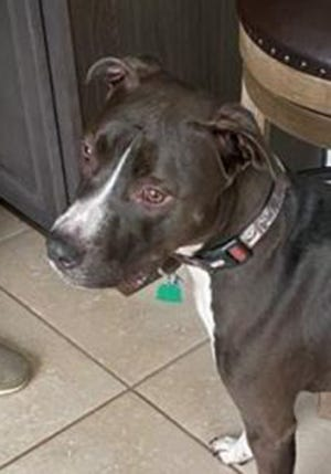 Rocky, an adult male American Staffordshire terrier mix, is available for adoption from Wags & Whiskers Pet Rescue. Routine shots are up to date. Call 904-797-6039 or go to wwpetrescue.org.