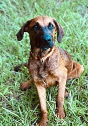 Zeke, a young male Belgian shepherd and malinois and hound mix, is available for adoption from SAFE Pet Rescue of Northeast Florida. Call 904-325-0196. Vaccinations are up to date.