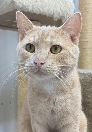 Butterball, a young male domestic shorthair, is available for adoption at the St. Johns County Pet Center, 130 N. Stratton Road. Call at 904-209-6190. Cat adoptions fees, $30 for males and $40 for females, include neutering/spaying, rabies vaccinations and shots.