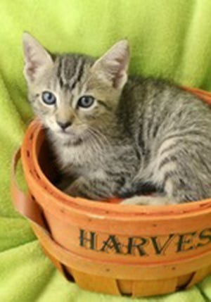 Andrew, a baby male tabby, is available for adoption from Wags & Whiskers Pet Rescue. Routine shots are up to date. For information, call 904-797-6039 or go to wwpetrescue.org to see more pets.