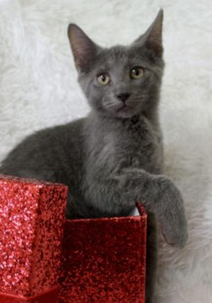 Jasper, a baby male Russian Blue, is available for adoption from Wags & Whiskers Pet Rescue. Routine shots are up to date. For information, call 904-797-6039 or go to wwpetrescue.org to see more pets.