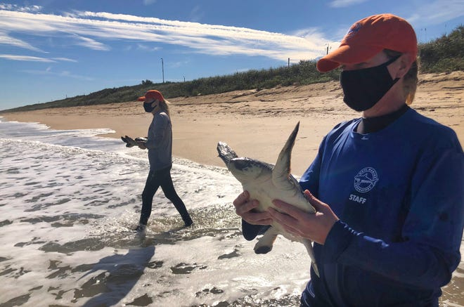 Mote Marine Laboratory staff carry two juvenile Kemp's ridley sea turtles into the surf to be released Monday in the Atlantic Ocean at Canaveral National Seashore.